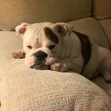 Pepa - Bulldog Inglés