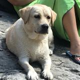 Argi - Labrador Retriever