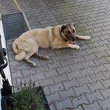 Acar (Anatolischer Hirtenhund)