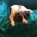 Effie (English Springer Spaniel)