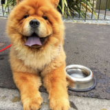 Willow (Chow Chow)