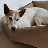 Alfie (Parson Russell Terrier)