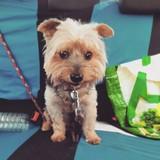 Neko - Yorkshire Terrier