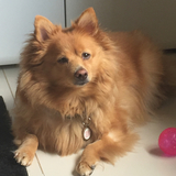 Jasmin (Needs Injections 2x A Day )  (German Spitz)