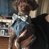 Hugo  (Toy Poodle)