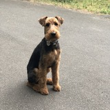 Roger (Airedale Terrier)