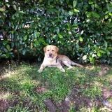 Risto - Labrador Retriever