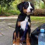 Roky (Appenzeller Sennenhund)