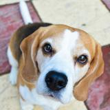 Coqui (Beagle)