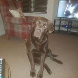 Gus (Labrador Retriever)