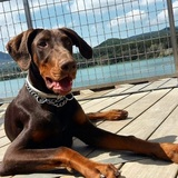 George (Dobermann)
