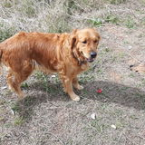 Vilma - Golden Retriever