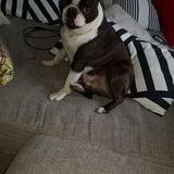 Tango (Boston Terrier)
