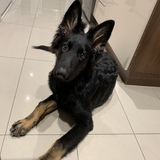 Vtc (German Shepherd Dog)