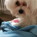 Bella (Malteser)