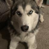 Leika (Siberian Husky)