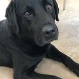 Arnold (Labrador Retriever)