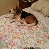 Lucas - Beagle