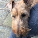 Willow (Irish Terrier)