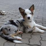 Carlos (Australian Shepherd)