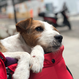 Bags (Parson Russell Terrier)