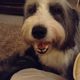 Topper (Bearded Collie)