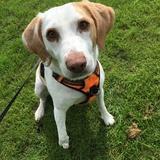 Prim (Beagle)