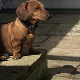Monty  (Dachshund)