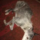 Mabon (Bedlington Terrier)