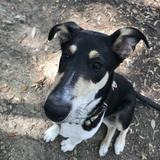Ace (Smooth Collie)