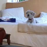 Sandy (Irish Soft Coated Wheaten Terrier)
