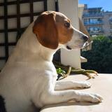 Lluna - Beagle