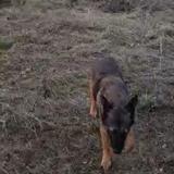 Rex  (Belgian Shepherd)
