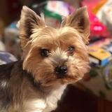 Jackie (Yorkshire Terrier)