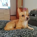 Lilo (Chihuahua)