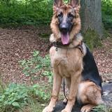 Leo (Deutscher Schäferhund)