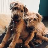 Cassie (Irish Terrier)