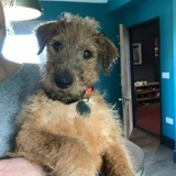 Tiggy (Irish Terrier)