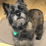 Eddie  - Cairn Terrier