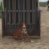 Lana (Appenzeller Sennenhund)