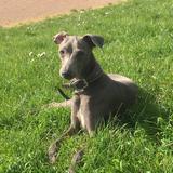 Hubert  (Italian Greyhound)