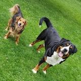 Spike (Grosser Schweizer Sennenhund)