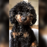 Muffin (Cockerpoo)