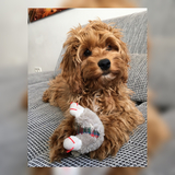 Peanut (Cockerpoo)
