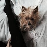 Dosi (Yorkshire Terrier)