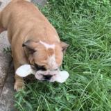 Brino (English Bulldog)