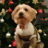 Sirio (Yorkshire Terrier)