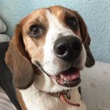 Mou - Beagle