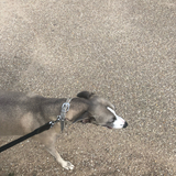 Lady (Greyhound)