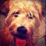 Belle (Irish Soft Coated Wheaten Terrier)